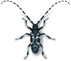 Help Stop the Asian Longhorned Beetle From Killing More Trees ...